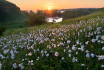 цветущие анемоны