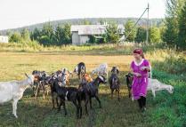 Утренний выпас коз