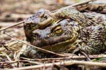 Любовь серых жаб