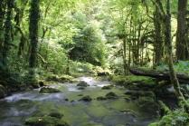 Река в тисо - самшитовом лесу