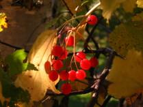 Калины гроздь