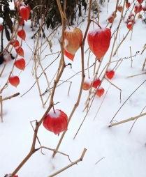 Физалис в снегу