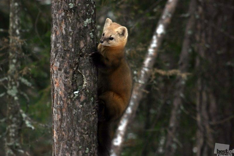 Соболь на дереве