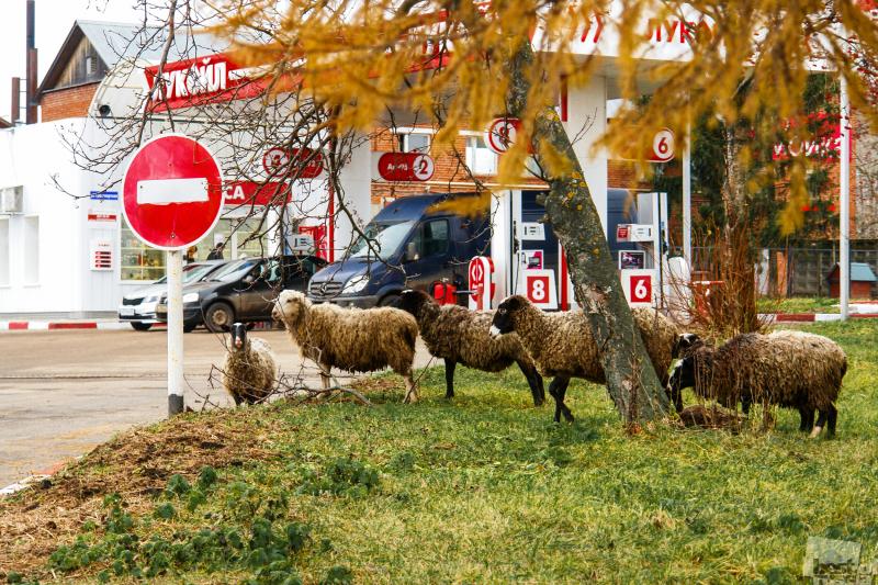 Овцы вышли на дорогу...