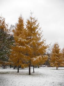 Первый снег на рыжих лиственницах