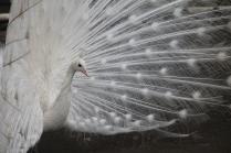 Не только белая ворона
