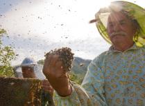 Пчелиная свадьба.