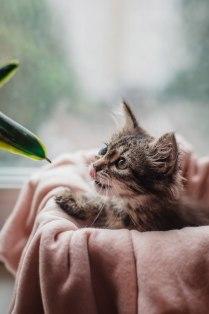 Одноглазый котенок играет с фикусом.