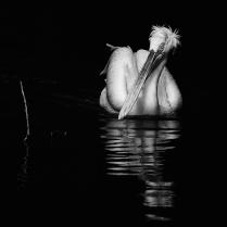 Кудрявый пеликан и палка