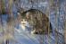 Снежный барсик