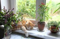 Кот с базеликом, острым перцем и розмарином