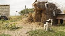 Собака под сеном.