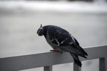 смешной голубь