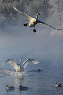 Лебединая зима