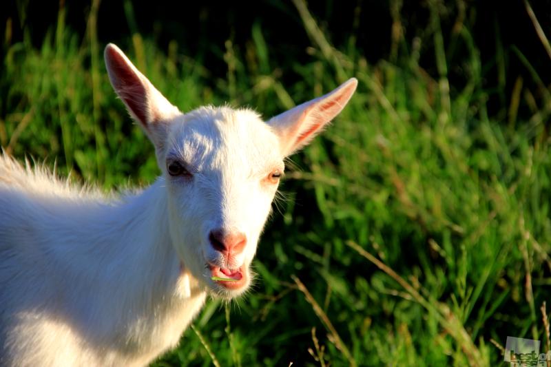 Лакомство козы