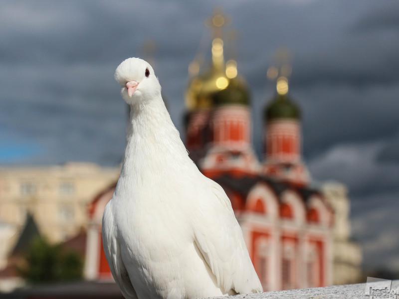 Кремлевский голубь