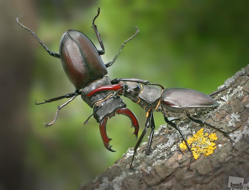 Бой жуков-оленей
