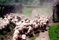 пастушонок