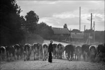Мальчик гонит коров летом в Овсянниково