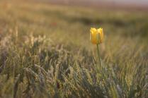 Одинокий тюльпан