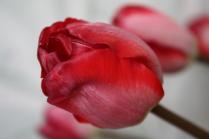 Хрупкий тюльпан