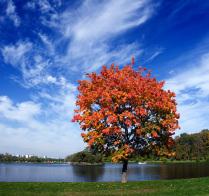 Осенний клен.