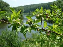 Яблоня над рекою