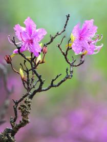 Цветущий рододендрон после дождя