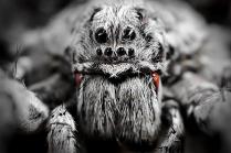 Портрет паука-волка