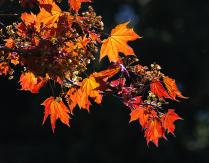 Цветущая кленовая ветка