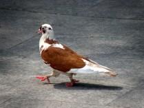Марширующий голубь