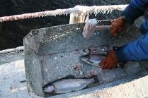 убийство рыбы