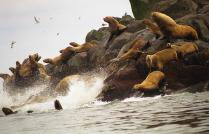 Животный мир Курильских островов