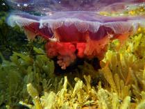 Красное чудо Белого моря