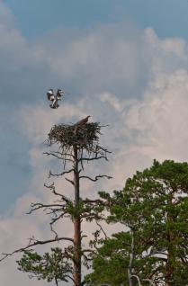 Скопа над гнездом