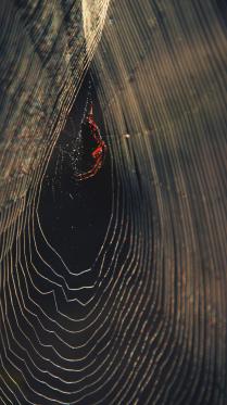 янтарный паук
