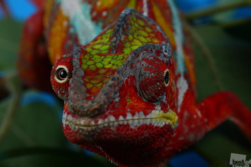Мадагаскарский рыжий