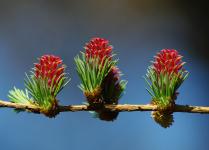 Майская лиственница